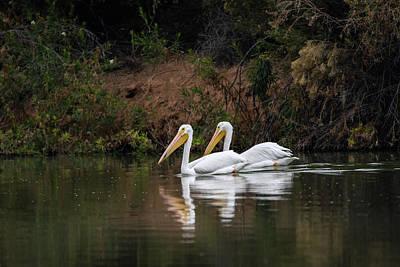Photograph - American White Pelican 5836-113017-1 by Tam Ryan