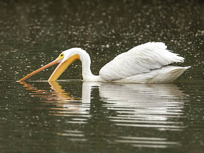 Photograph - American White Pelican 6421-113017-1 by Tam Ryan