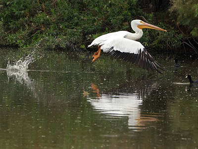 Photograph - American White Pelican 6486-113017-3cr by Tam Ryan