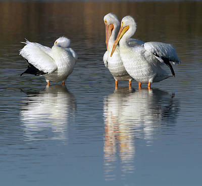 Photograph - American White Pelican 7740-021818-1 by Tam Ryan