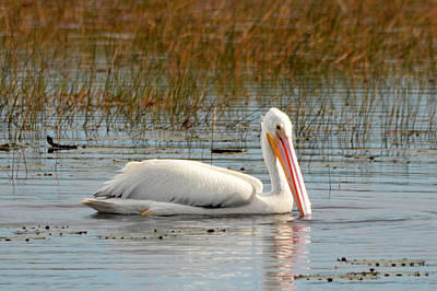 Photograph - American White Pelican by Carla Parris