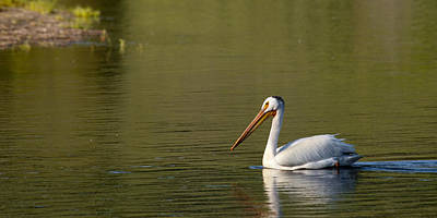 American White Pelican Original by Chad Davis