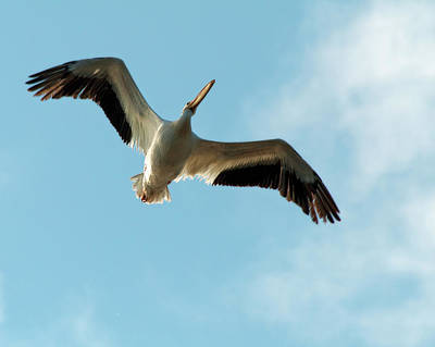 Photograph - American White Pelican by CE Haynes