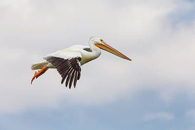 Photograph - American White Pelican Cruising by James BO Insogna