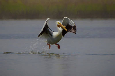 Digital Art - American White Pelican Da 2 by Ernie Echols