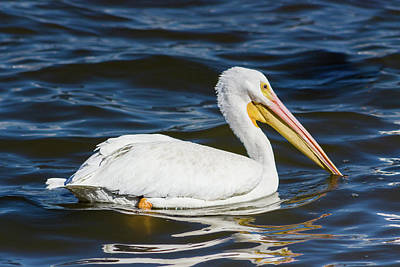 Photograph - American White Pelican by Dawn Currie