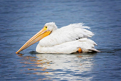 Photograph - American White Pelican by Deana Glenz