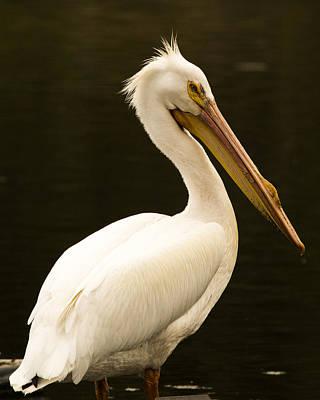 Photograph - American White Pelican by Erica Kinsella