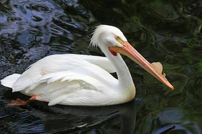 Photograph - American White Pelican, Florida by Gary Corbett