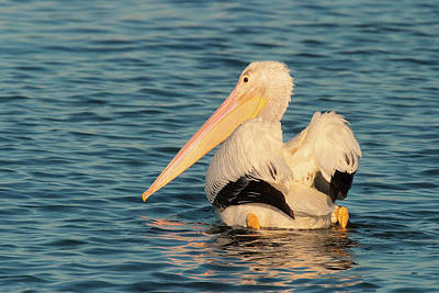 Photograph - American White Pelican - Huntington Beach California by Ram Vasudev