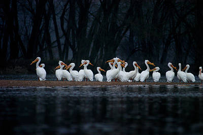Art Print featuring the photograph American White Pelican by Jane Melgaard
