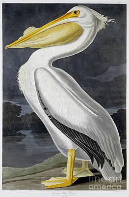 Brown Pelican Painting - American White Pelican by MotionAge Designs