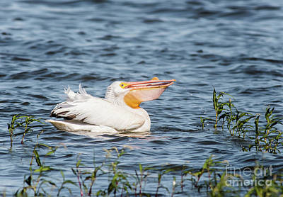 Cabin Window Photograph - American White Pelican Male by Robert Frederick