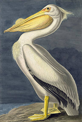 Drawing - American White Pelican. Pelecanus Erythrorhynchos by John James Audubon
