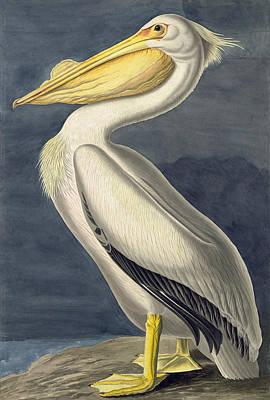 Pelican Drawing - American White Pelican. Pelecanus Erythrorhynchos by John James Audubon