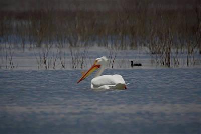 Digital Art - American White Pelican Searching Da by Ernie Echols