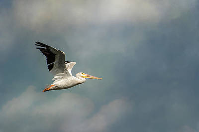 Photograph - American White Pelican by Susan McMenamin