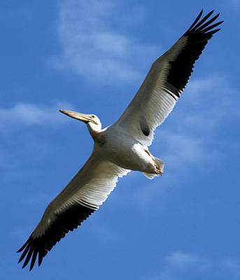 Photograph - American White Pelican Wings by Marilyn Hunt