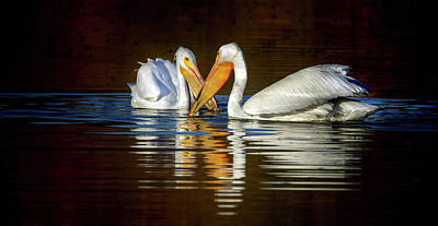 Photograph - $200 - 20x10 Metal - American White Pelicans 4518-012818-5cr by Tam Ryan