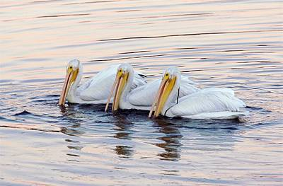 Bodega Bay Photograph - American White Pelicans by Bob Gibbons
