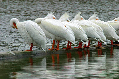 Photograph - American White Pelicans In Strong Breeze, Klamath River, Oregon by Robert Mutch