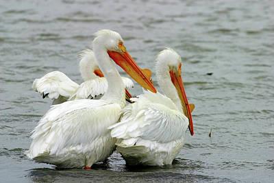 Photograph - American White Pelicans, Tule Lake Nwr, California, Usa by Robert Mutch