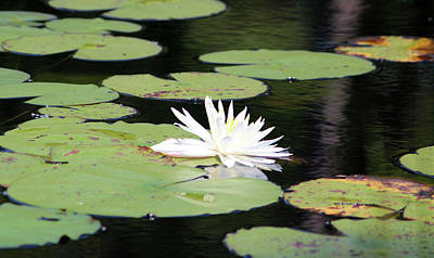 Photograph - American White Waterlily by Cynthia Guinn