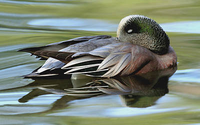 Photograph - American Widgeon by Craig Strand