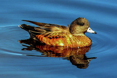 Photograph - American Widgeon - Reflection In Blue Water by Marilyn Burton