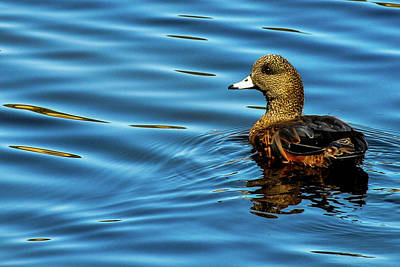 Photograph - American Widgeon - Water Ripples by Marilyn Burton