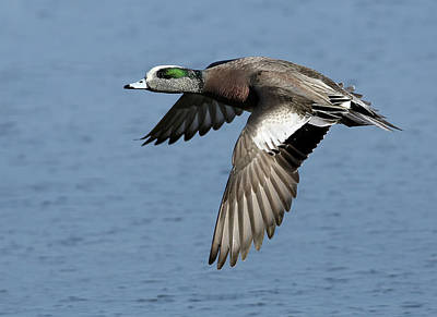 Photograph - American Wigeon by Art Cole