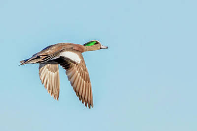 Duck Photograph - American Wigeon In Flight by Rick Higgins