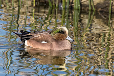 Photograph - American Wigeon In Winter by Kathleen Bishop