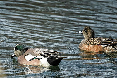 Photograph - American Wigeon Mates by Belinda Greb
