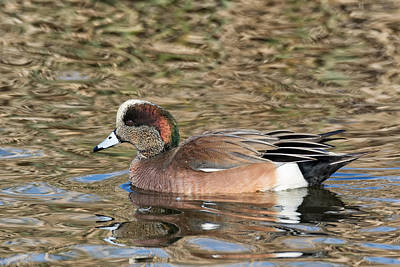 Photograph - American Wigeon On The Water by Kathleen Bishop