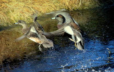 Mark Wagner Wall Art - Photograph - American Wigeon Pair by Mark Wagner