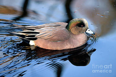 Photograph - American Wigeon Reflection by Terry Elniski