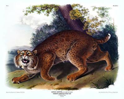 Bobcat Art Drawing - American Wild Cat Antique Print Audubon Quadrupeds Of North America Plate 1 by Orchard Arts
