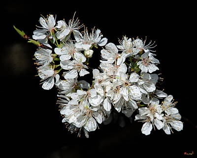 Photograph - American Wild Plum Dfl0879 by Gerry Gantt