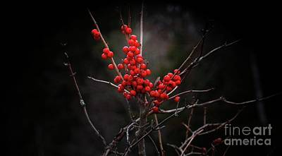 Photograph - American Winterberry by Marcia Lee Jones
