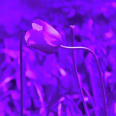 Photograph - Amethyst Pink Tulip by Aimee L Maher Photography and Art Visit ALMGallerydotcom