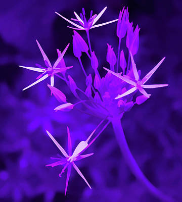 Photograph - Amethyst Starlight Flower by Aimee L Maher Photography and Art Visit ALMGallerydotcom