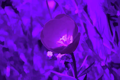 Photograph - Amethyst Tulip by Aimee L Maher Photography and Art Visit ALMGallerydotcom