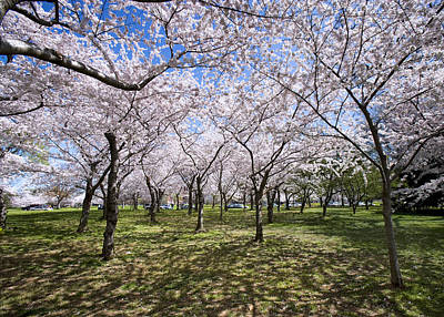Cherry Blossom Festival Photograph - Amid Cherry Trees Washington D.c. Cherry Blossom Festival by Brendan Reals
