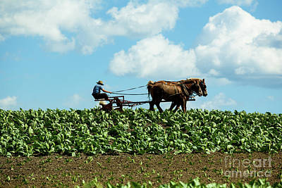 Photograph - Amish Farmer With Horses In Tobacco Field by George Sheldon