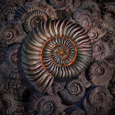 Ammonite 1 Art Print