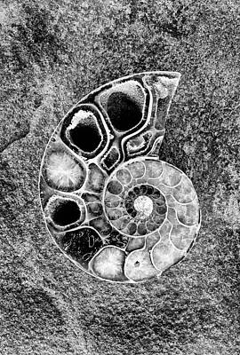 Photograph - Ammonite Fossil - 8280-2-b by Paul W Faust - Impressions of Light