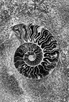 Photograph - Ammonite Fossil - 8286-b by Paul W Faust - Impressions of Light