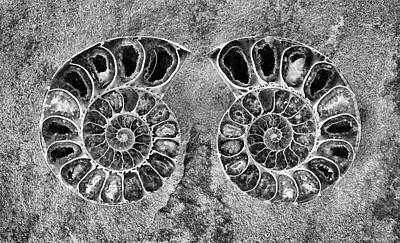 Photograph - Ammonite Fossil - 8289-b by Paul W Faust - Impressions of Light