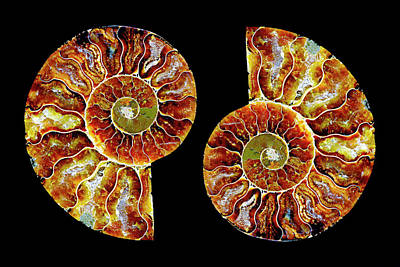 Photograph - Ammonite Fossil-1-pair 2 by Paul W Faust - Impressions of Light